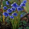 Allium spec.?