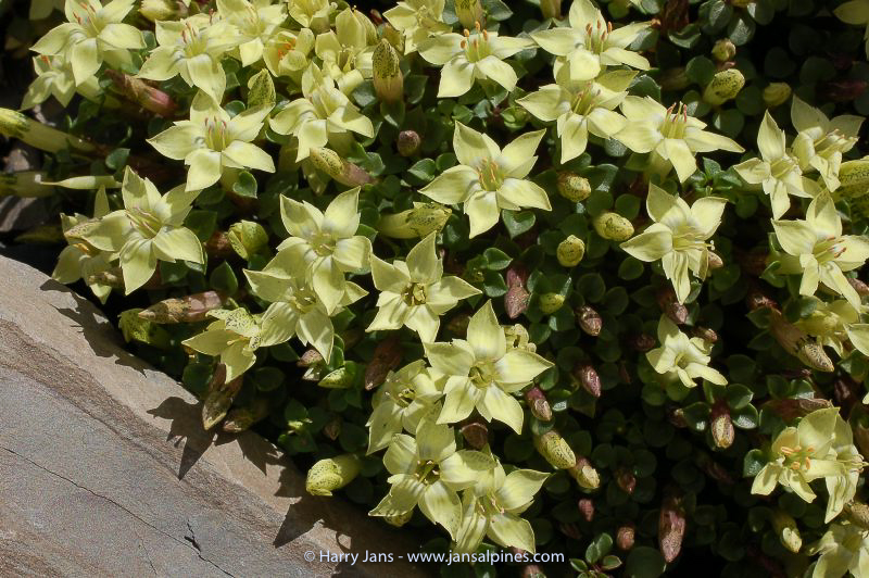 Gentiana tongolensis