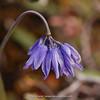 Allium sikkimensis