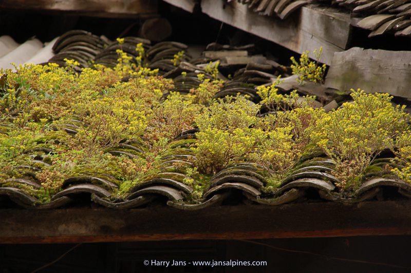 Sedum spec.? on Chinese roofs at Kanding, 2640m