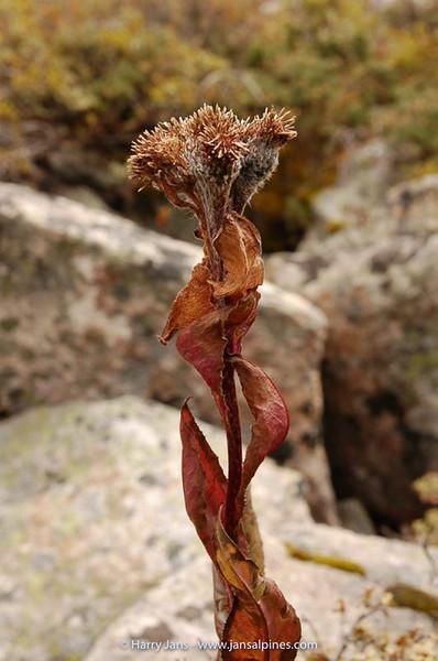 Saussurea uniflora