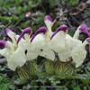 Pedicularis przewalskii var. cristata