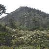 Rhododendron forest at Hailuogou Glacier