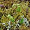 Herminium ? (orchid)