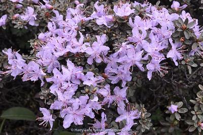 Rhododendron telmateium / fastigiatum
