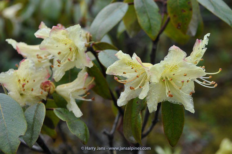 Rhododendron triflorum