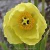 Meconopsis integrifolia ssp. integrifolia