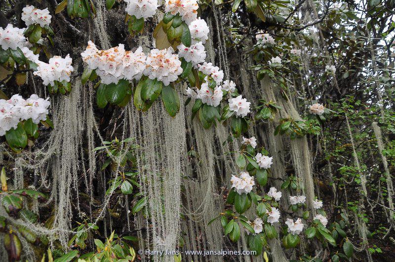 Rhododendron faberi ssp. prattii