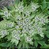 Pleurospermum spec.?