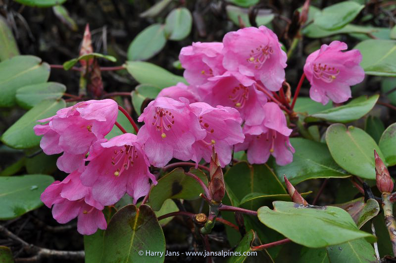 Rhododendron orbiculare ssp. orbiculare