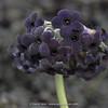 Primula melanantha (was P.euprepes