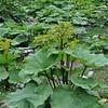 Ligularia nelunbifolia
