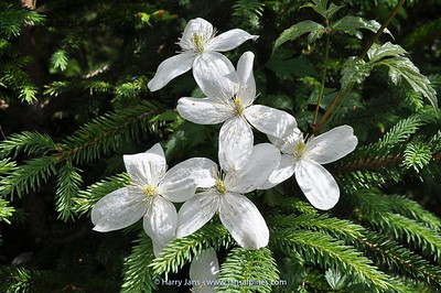 Clematis montana var. grandiflora