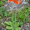 Primula cockburniana