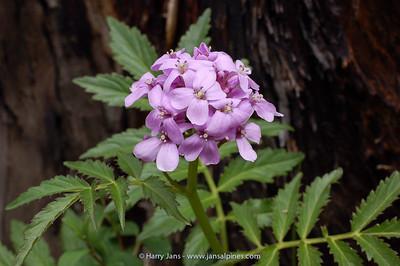 Cardamine macrophylla