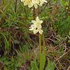 Primula orbicularis