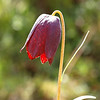 Fritillaria unibracteata
