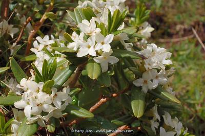 Daphne tangutica f. albiflora