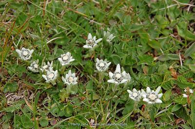 Leontopodium pusillum