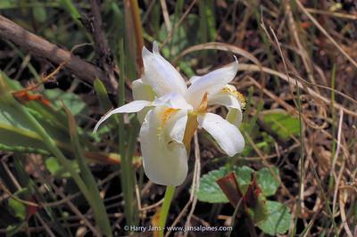 Iris goniocarpa (almost white)