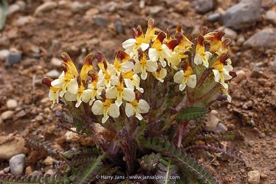 Pedicularis oederi ssp. sinensis
