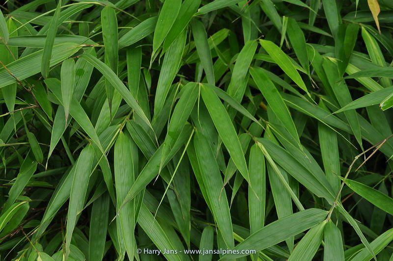 Bamboo, Panda food