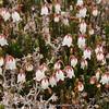 Cassiope selaginoides