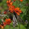 butterfly on Primula cockburniana