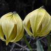 Lilium lophophorum