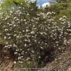 Rhododendron phaeochrysum