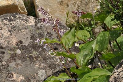 Maianthemum henryi (Smilacina h.)
