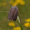 Fritillaria sichuanica