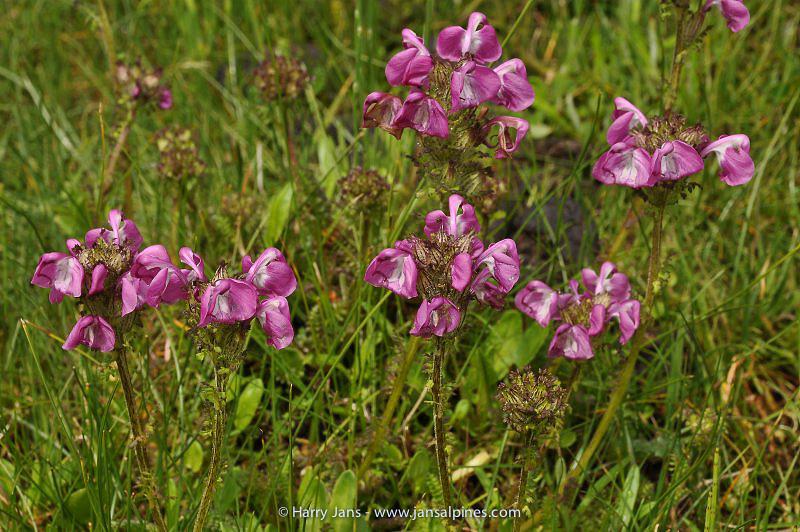 Pedicularis rhinanthoides