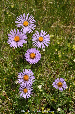 Aster soulei