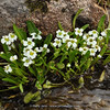 Pegaeophyton scapiflorum ssp. scapiflorum