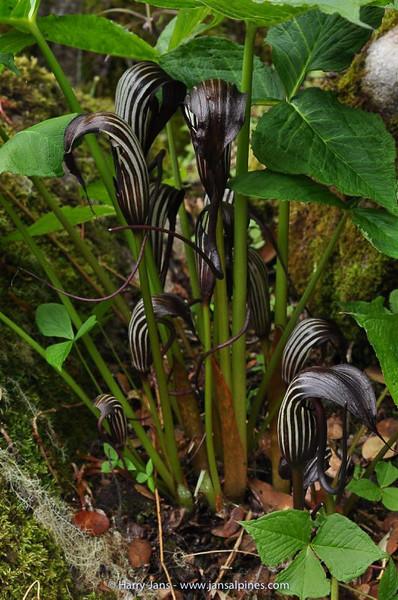 Arisaema elephas
