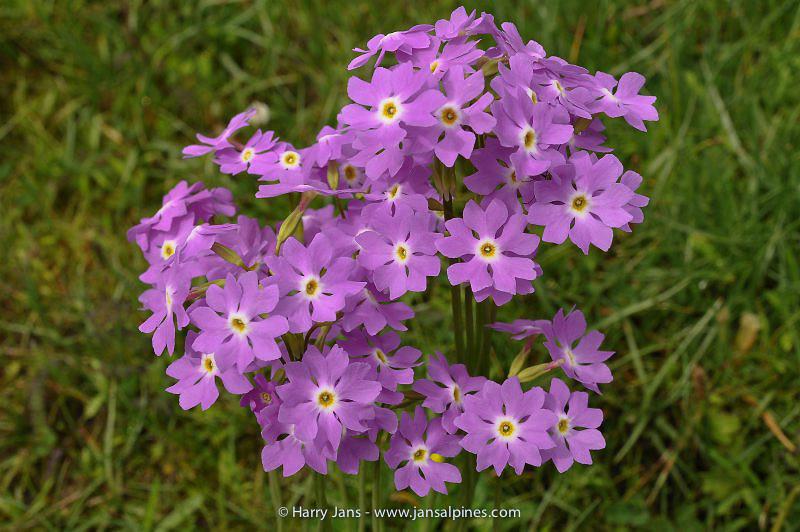 Primula munro ssp. yargongensis (syn. P.involucrata yar.)