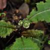 Primula sonchifolia