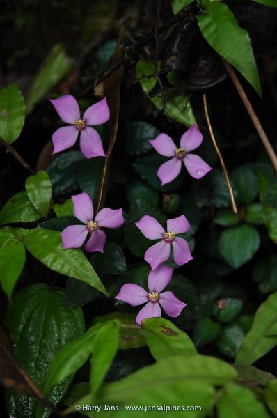 Osbeckia cf. stellata