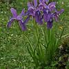 Iris cuniculiformis