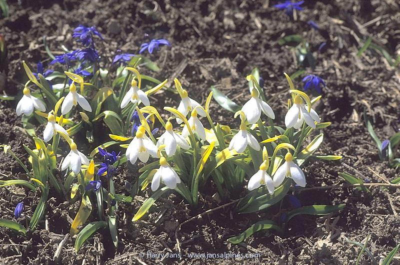Galanthus transcaucasicus