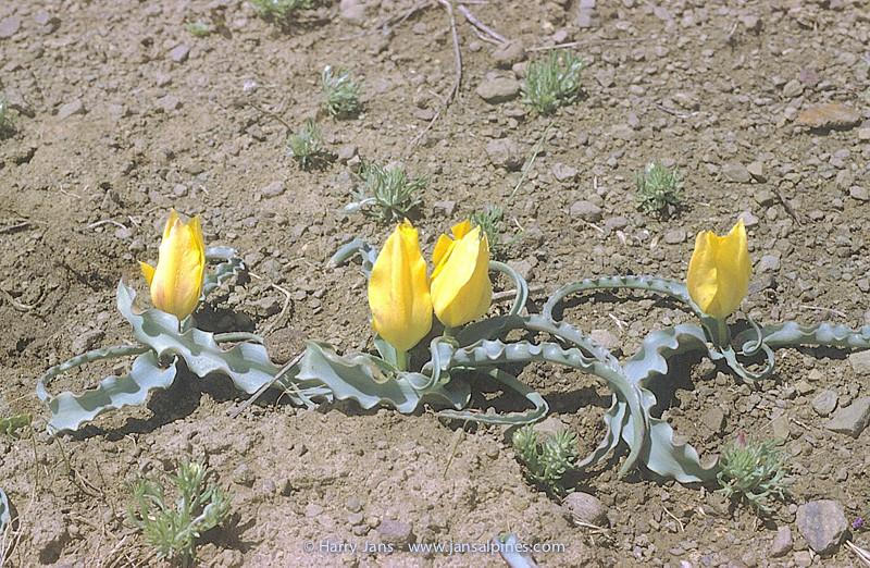 Tulipa cf. ulophylla