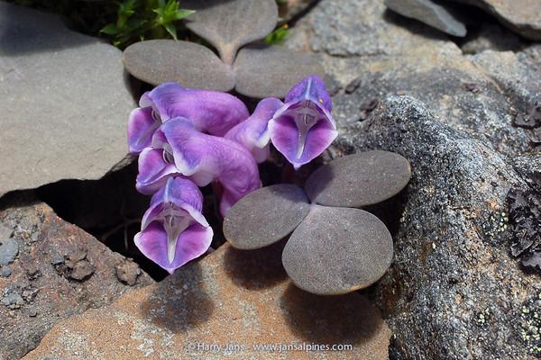 Corydalis benecincta