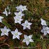 Lomatogonium macranthum