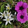 Ornithogalum montanum & Geranium subcaulescens