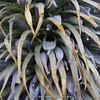 Lobelia rhynchopetalum