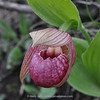 Cypripedium tibeticum (self-pollinating form)