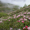 Rhododendron aganniphum
