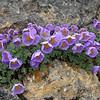 Paraquilegia anemonoides