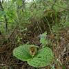 Cypripedium margaritaceum